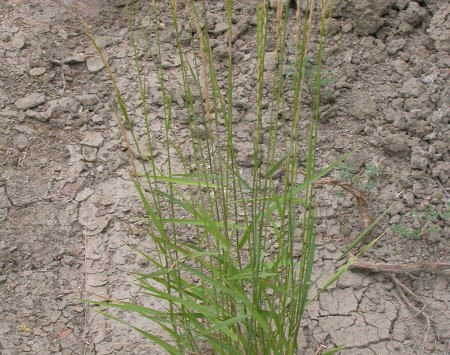 In more protected sites with great moisture availability, slender wheatgrass grows taller, more diffuse (less bunched), and produces broader leaf blades (but note that the habit remains bunched).