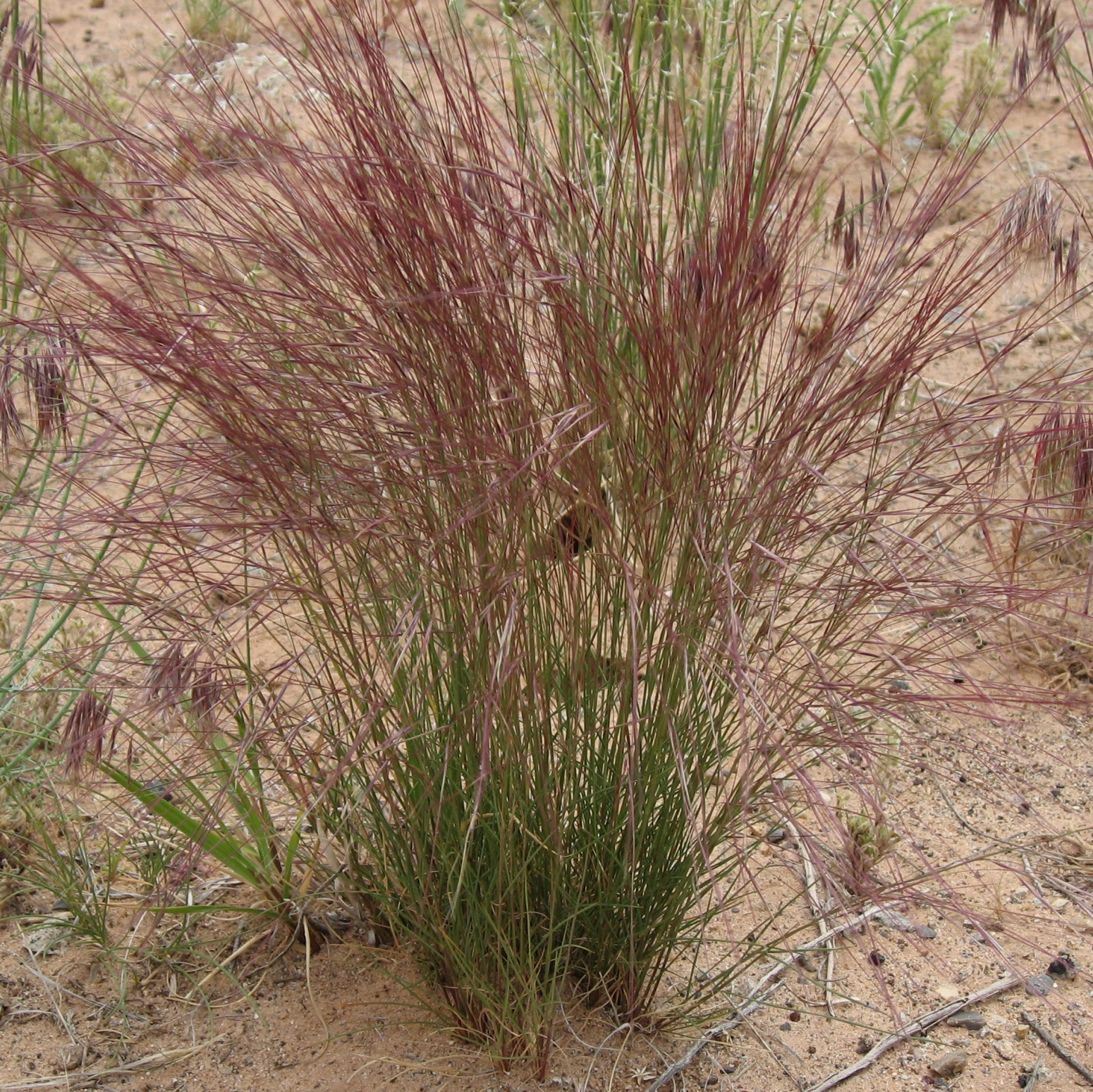 Stevenson Intermountain Seed | Aristida purpurea ...
