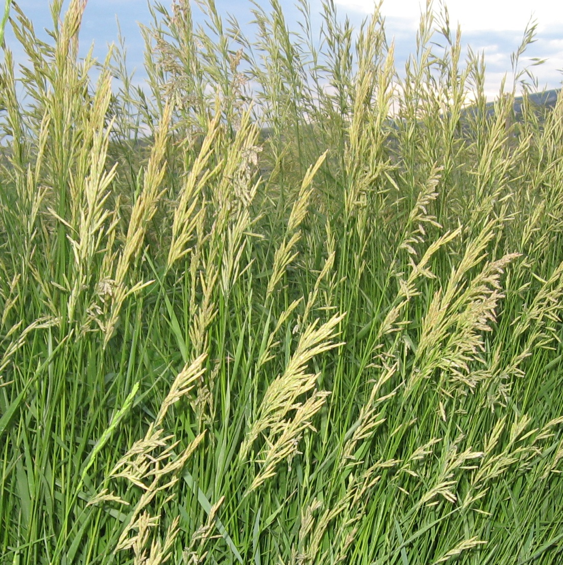 Smooth Bromegrass | Department of Plant Sciences | College ...  |Smooth Bromegrass Seed