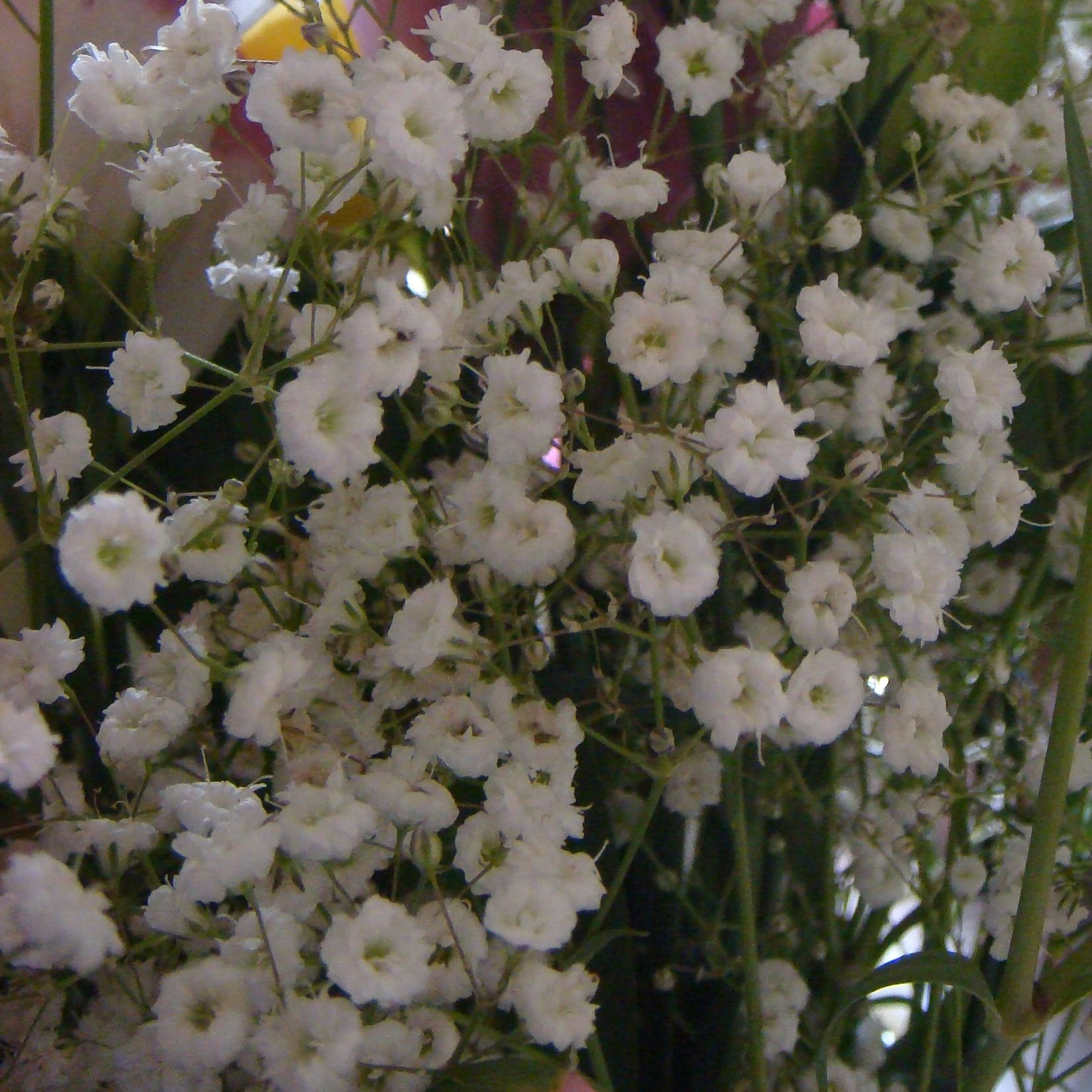 Гипсофила изящная фото цветов