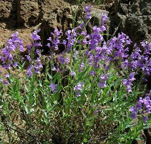 Penstemon venustus Dougl. ex Lindl.  Venus penstemon, Blue Mountain Penstemon Scrophulariaceae: Figwort Family Hells Canyon National Recreation Area Wallowa County, OR July 16, 2005 PLANTS Symbol: PEVE2 54-2634-071605 DSCN2634